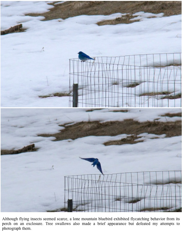 Although flying insects seemed scarce, a lone mountain bluebird exhibited flycatching behavior from its perch on an exclosure. Tree swallows also made a brief appearance but defeated my attempts to photograph them.