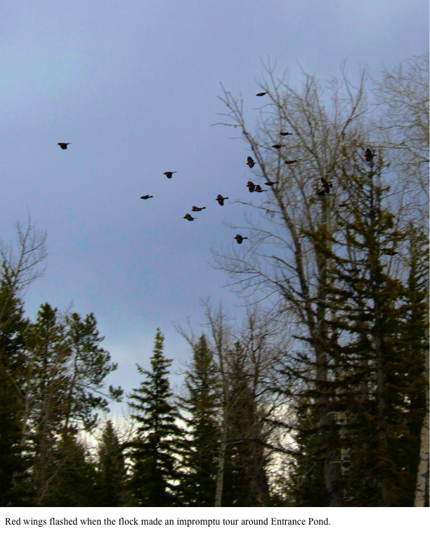 Red wings flashed when the flock made an impromptu tour around Entrance Pond.