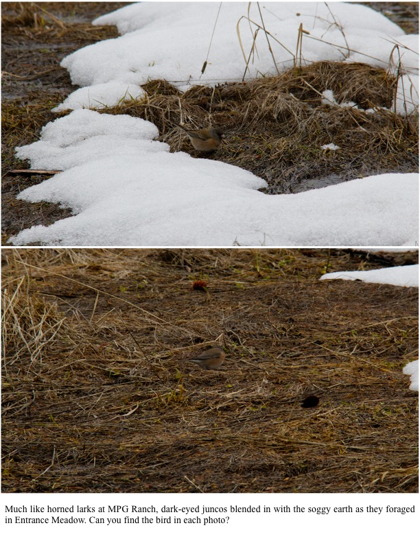 Much like horned larks at MPG Ranch, dark-eyed juncos blended in with the soggy earth as they foraged in Entrance Meadow. Can you find the bird in each photo?