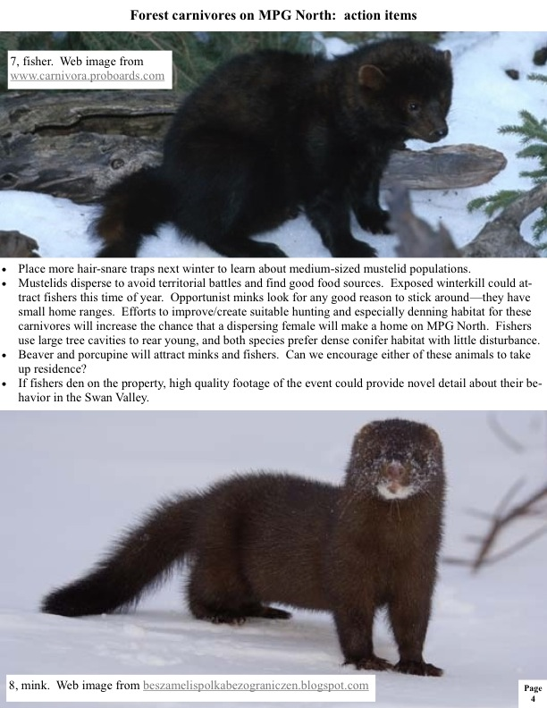 Place more hair-snare traps next winter to learn about medium-sized mustelid populations.  Mustelids disperse to avoid territorial battles and find good food sources. Exposed winterkill could at- tract fishers this time of year. Opportunist minks look for any good reason to stick around—they have small home ranges. Efforts to improve/create suitable hunting and especially denning habitat for these carnivores will increase the chance that a dispersing female will make a home on MPG North. Fishers use...