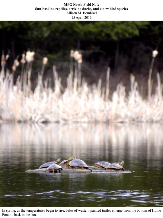 In spring, as the temperatures begin to rise, bales of western painted turtles emerge from the bottom of Home Pond to bask in the sun.