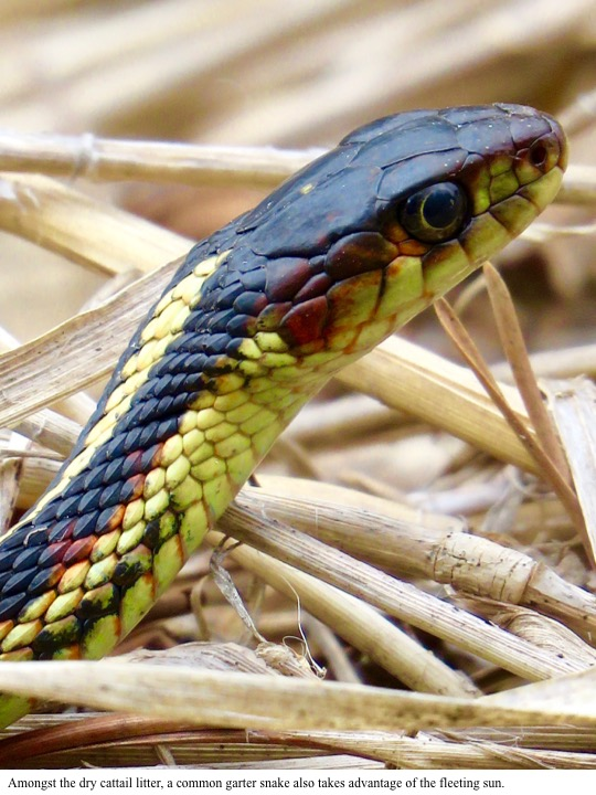Amongst the dry cattail litter, a common garter snake also takes advantage of the fleeting sun.