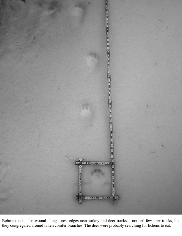 Bobcat tracks also wound along forest edges near turkey and deer tracks.