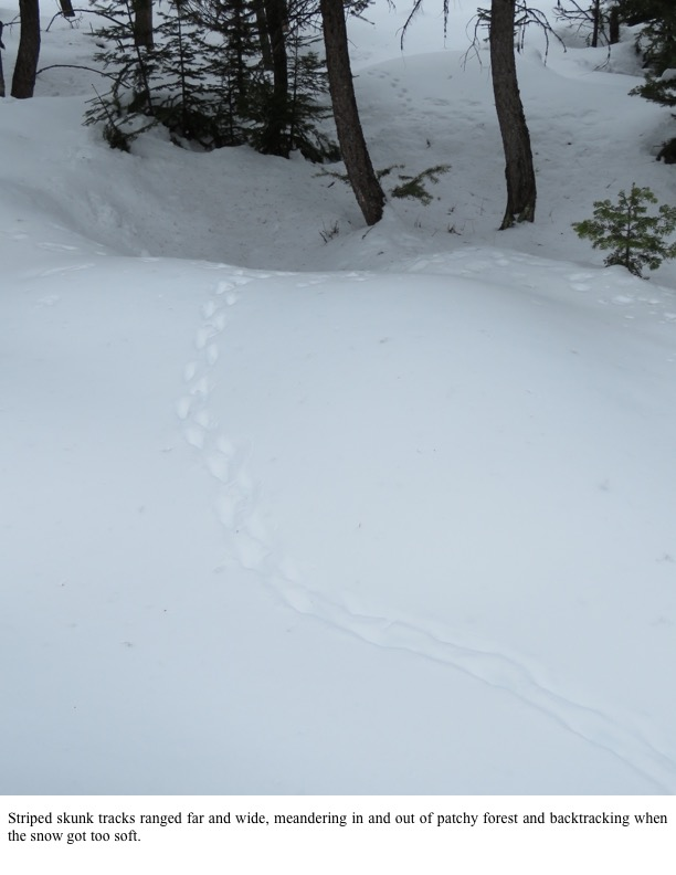 Striped skunk tracks ranged far and wide.