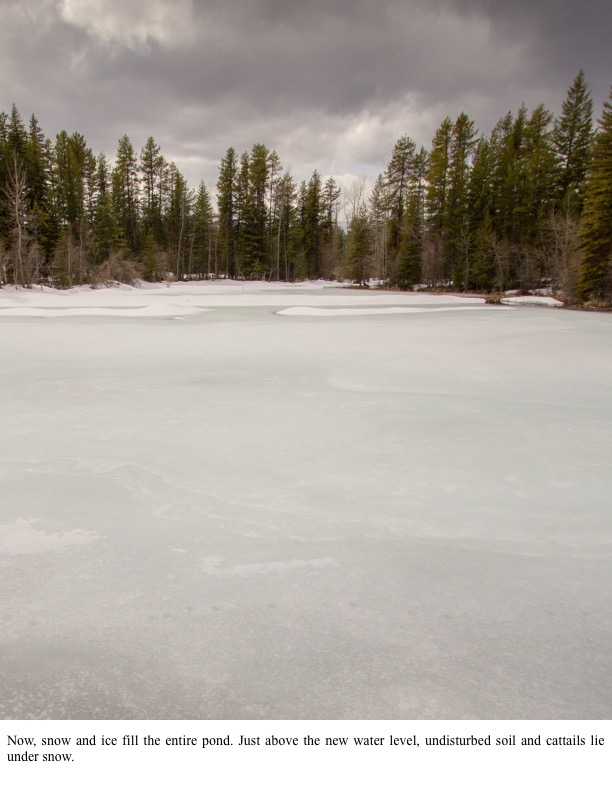 Now, snow and ice fill the entire pond. Just above the new water level, undisturbed soil and cattails lie under snow.