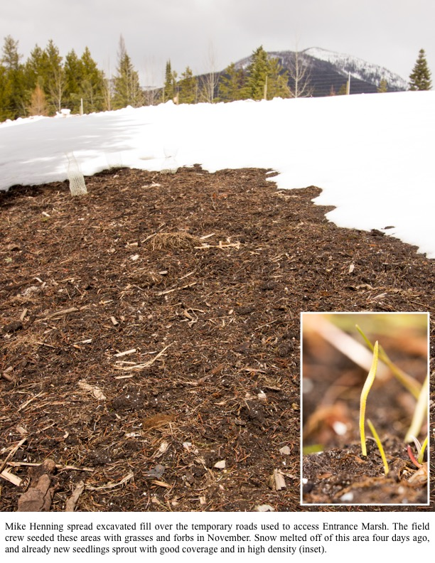 now melted off of this area four days ago, and already new seedlings sprout with good coverage and in high density