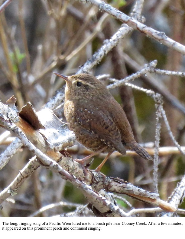 The long, ringing song of a Pacific Wren lured me to a brush pile near Cooney Creek. After a few minutes, it appeared on this prominent perch and continued singing.