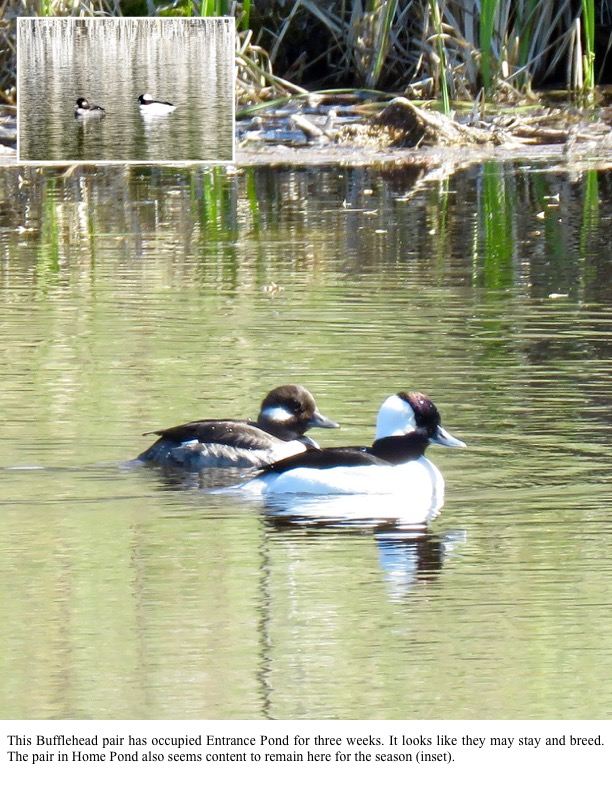 This Bufflehead pair has occupied Entrance Pond for three weeks. It looks like they may stay and breed. The pair in Home Pond also seems content to remain here for the season (inset).