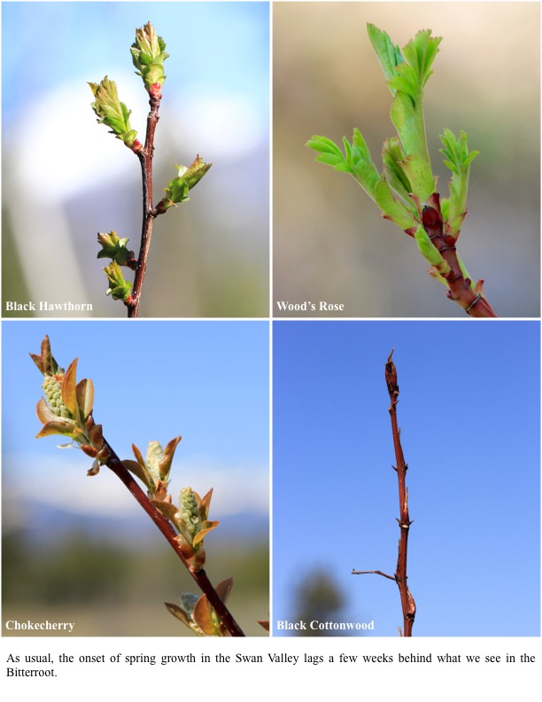 As usual, the onset of spring growth in the Swan Valley lags a few weeks behind what we see in the Bitterroot.