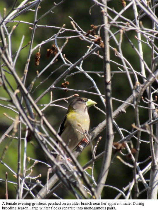 A female evening grosbeak perched on an alder branch near her apparent mate. During breeding season, large winter flocks separate into monogamous pairs.