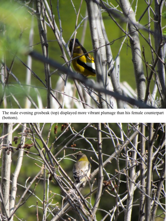 The male evening grosbeak (top) displayed more vibrant plumage than his female counterpart (bottom).
