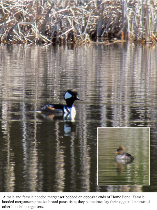 A male and female hooded merganser bobbed on opposite ends of Home Pond. Female hooded mergansers practice brood parasitism; they sometimes lay their eggs in the nests of other hooded mergansers.