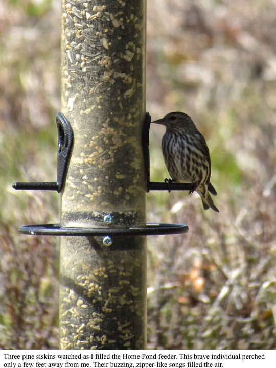 Three pine siskins watched as I filled the Home Pond feeder. This brave individual perched only a few feet away from me. Their buzzing, zipper-like songs filled the air.
