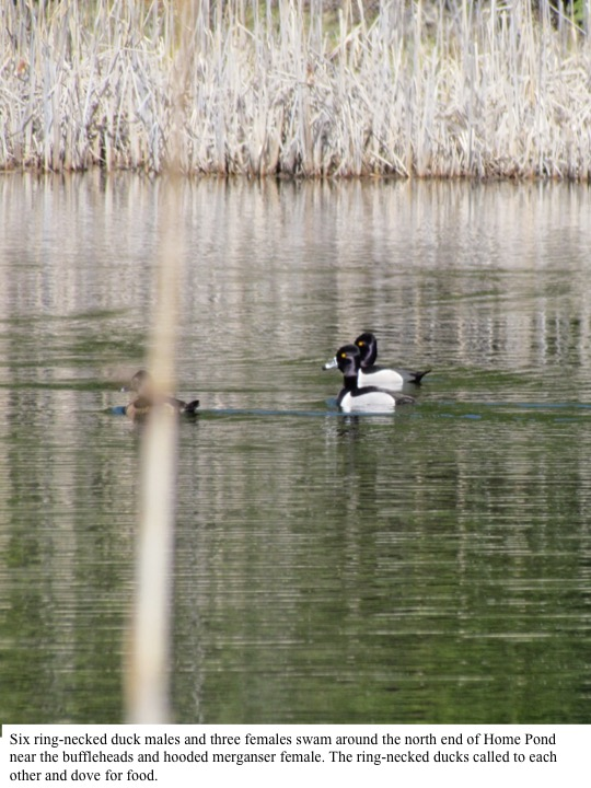 Six ring-necked duck males and three females swam around the north end of Home Pond near the buffleheads and hooded merganser female. The ring-necked ducks called to each other and dove for food.
