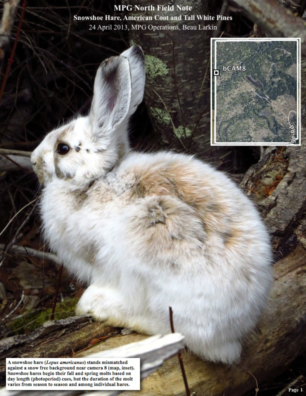 A snowshoe hare (Lepus americanus) stands mismatched against a snow free background near camera 8 (map, inset). Snowshoe hares begin their fall and spring molts based on day length (photoperiod) cues, but the duration of the molt varies from season to season and among individual hares.
