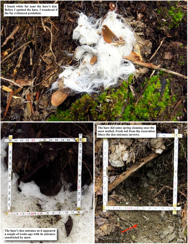 I found white fur near the hare's den. Before I spotted the hare, I wondered if the fur evidenced predation.