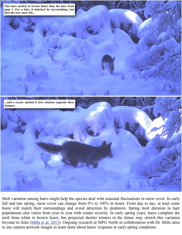 This hare molted to brown faster than the hare from page 1. For a time, it matched its surroundings, but then the new snow fell......and a coyote spotted it (two minutes separate these images).