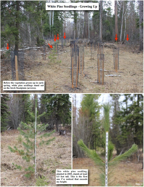 White Pine seedlings growing up, Before the vegetation greens up in early spring, white pine seedlings stand out on the birch floodplain (arrows).