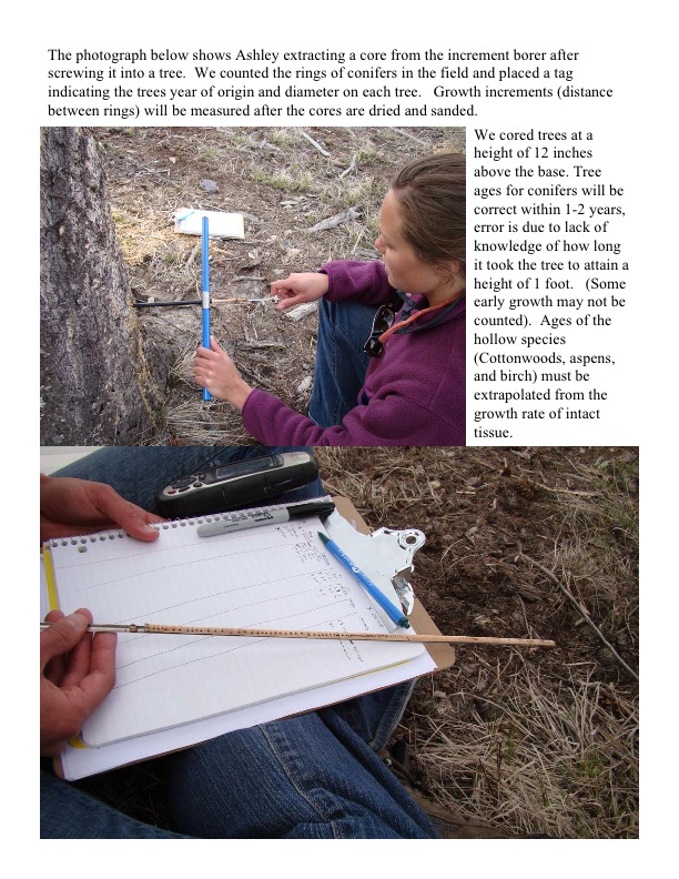 The photograph below shows Ashley extracting a core from the increment borer after screwing it into a tree. We counted the rings of conifers in the field and placed a tag indicating the trees year of origin and diameter on each tree. Growth increments (distance between rings) will be measured after the cores are dried and sanded.