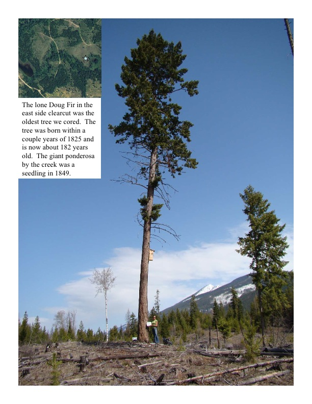 The lone Doug Fir in the east side clearcut was the oldest tree we cored. The tree was born within a couple years of 1825 and is now about 182 years old. The giant ponderosa by the creek was a seedling in 1849.