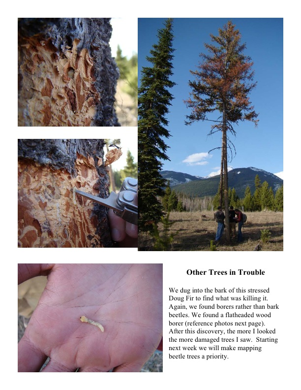 Other Trees in Trouble We dug into the bark of this stressed Doug Fir to find what was killing it. Again, we found borers rather than bark beetles. We found a flatheaded wood borer (reference photos next page). After this discovery, the more I looked the more damaged trees I saw. Starting next week we will make mapping beetle trees a priority.