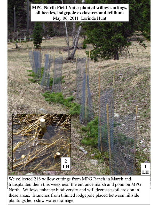 MPG North Field Note: planted willow cuttings, oil beetles, lodgepole exclosures and trillium. May 06, 2011 Lorinda Hunt