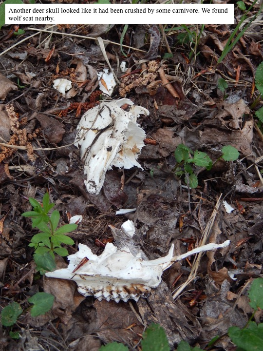 Another deer skull looked like it had been crushed by some carnivore. We found wolf scat nearby.