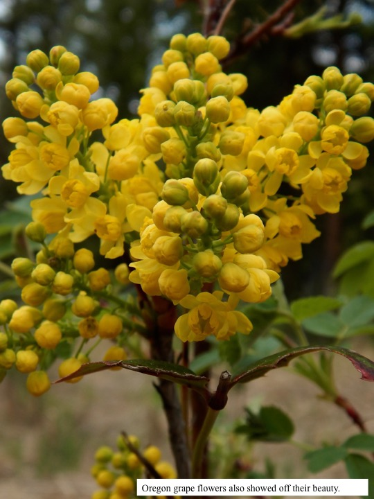 Oregon grape flowers also showed off their beauty.