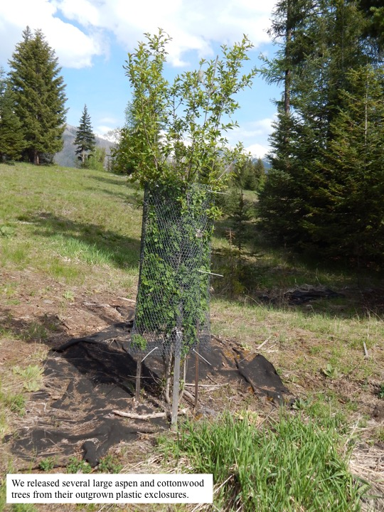 We released several large aspen and cottonwood trees from their outgrown plastic exclosures.