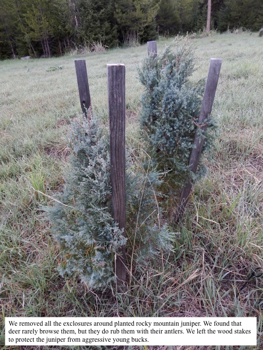 We removed all the exclosures around planted rocky mountain juniper. We found that deer rarely browse them, but they do rub them with their antlers. We left the wood stakes to protect the juniper from aggressive young bucks.