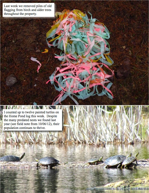 Last week we removed piles of old flagging from birch and alder trees throughout the property. I counted up to twelve painted turtles on the Home Pond log this week. Despite the many predated nests we found last year (see field note from 10/06/12), their population continues to thrive.