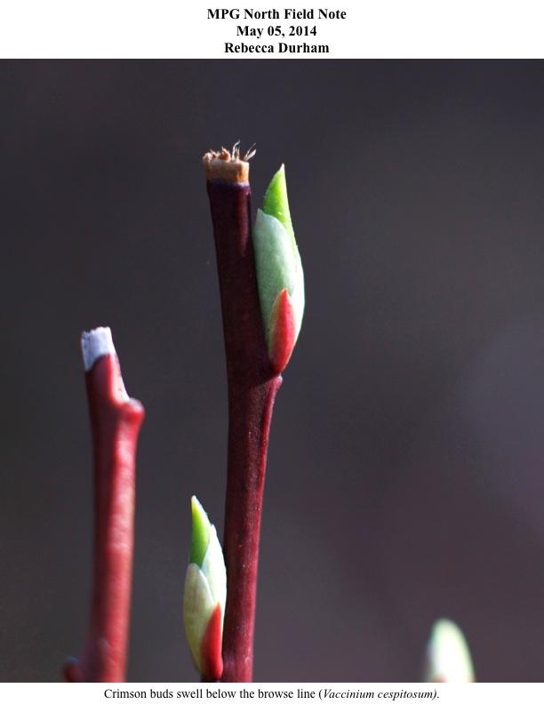 Crimson buds swell below the browse line (Vaccinium cespitosum).