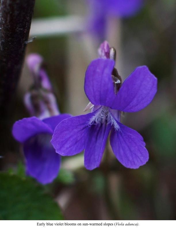 Early blue violet blooms on sun-warmed slopes (Viola adunca).