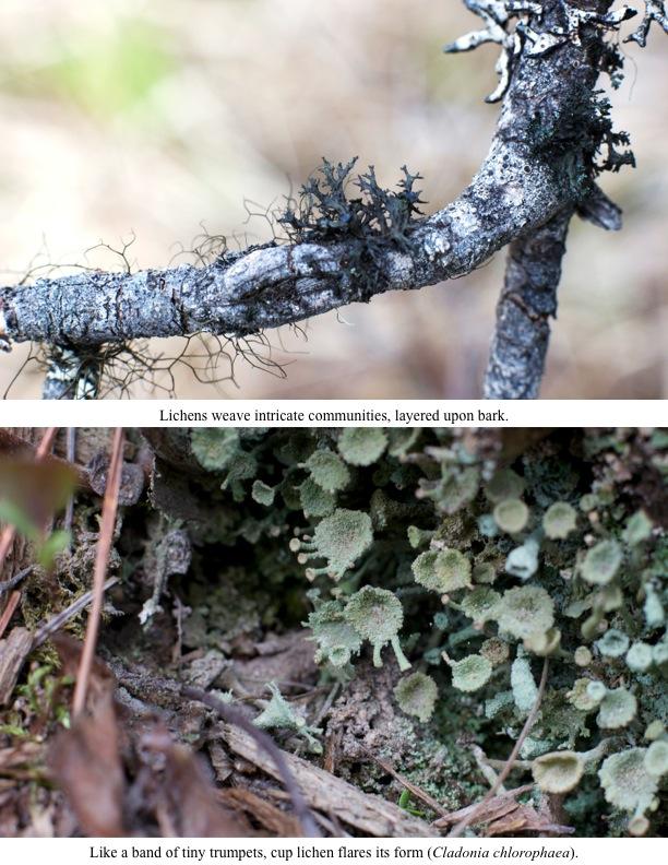 Lichens weave intricate communities, layered upon bark.