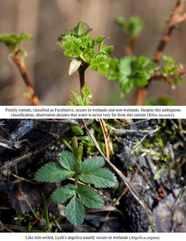 Prickly currant, classified as Facultative, occurs in wetlands and non-wetlands. Despite this ambiguous classification, observation dictates that water is never very far from this currant (Ribes lacustre).
