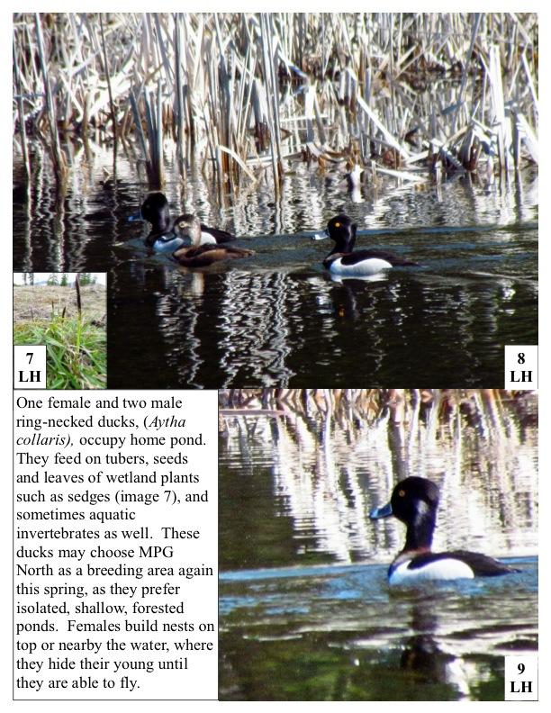 One female and two male ring-necked ducks, (Aytha collaris), occupy home pond. They feed on tubers, seeds and leaves of wetland plants such as sedges (image 7), and sometimes aquatic invertebrates as well.