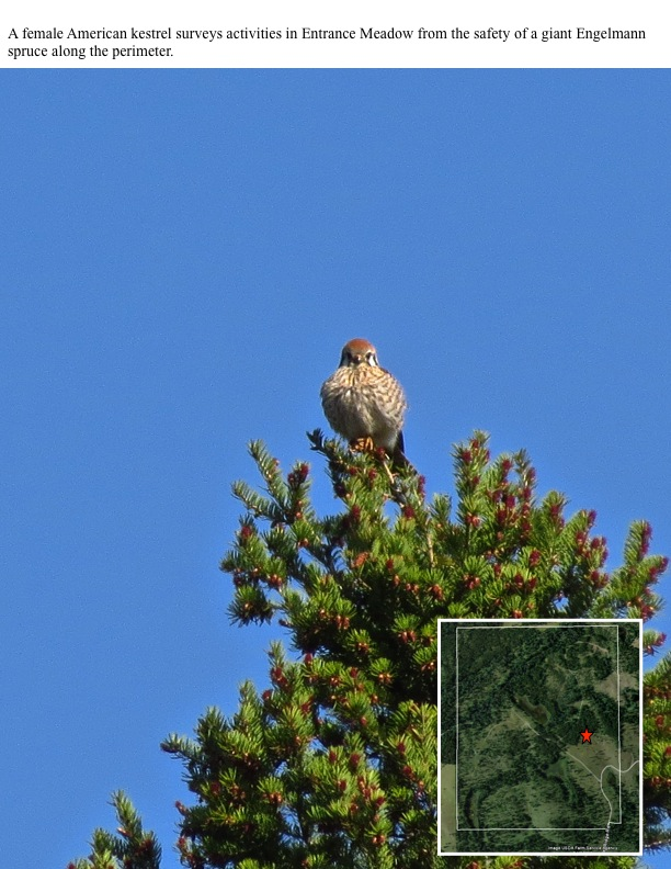 A female American kestrel surveys activities in Entrance Meadow from the safety of a giant Engelmann spruce along the perimeter.