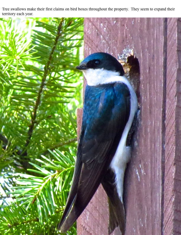 Tree swallows make their first claims on bird boxes throughout the property. They seem to expand their territory each year.