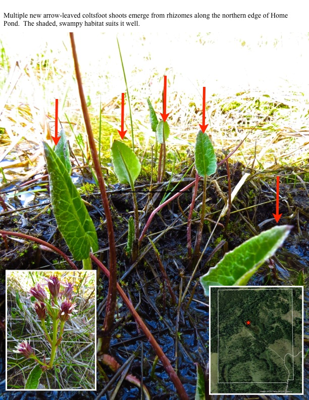 Multiple new arrow-leaved coltsfoot shoots emerge from rhizomes along the northern edge of Home Pond. The shaded, swampy habitat suits it well.