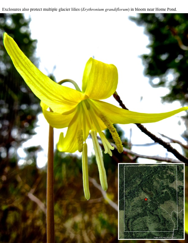 Exclosures also protect multiple glacier lilies (Erythronium grandiflorum) in bloom near Home Pond.