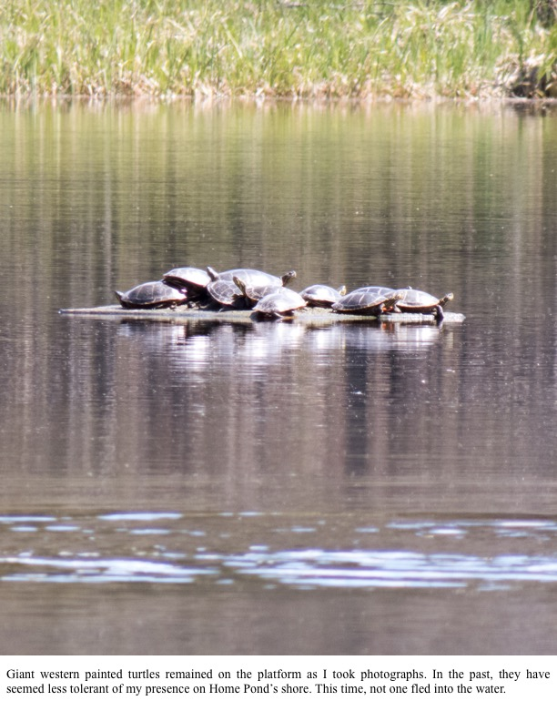 Giant western painted turtles remained on the platform as I took photographs.