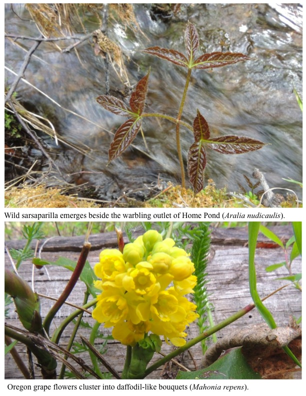 Wild sarsaparilla emerges beside the warbling outlet of Home Pond (Aralia nudicaulis). Oregon grape flowers cluster into daffodil-like bouquets (Mahonia repens).