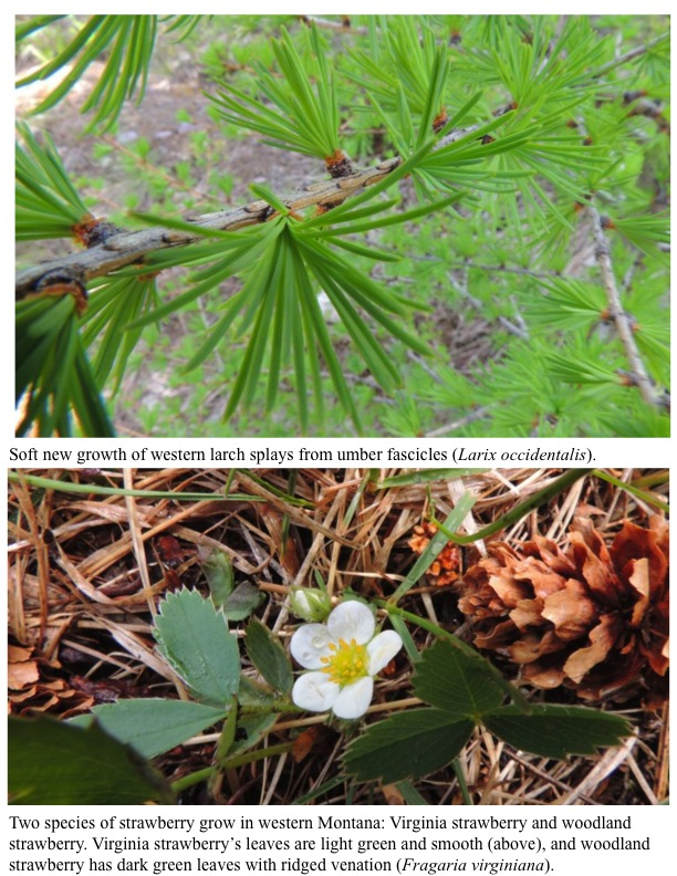 Soft new growth of western larch splays from umber fascicles (Larix occidentalis). Two species of strawberry grow in western Montana: Virginia strawberry and woodland strawberry. Virginia strawberry's leaves are light green and smooth (above), and woodland strawberry has dark green leaves with ridged venation (Fragaria virginiana).