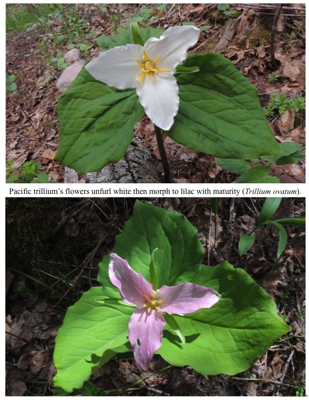 Pacific trillium's flowers unfurl white then morph to lilac with maturity (Trillium ovatum).