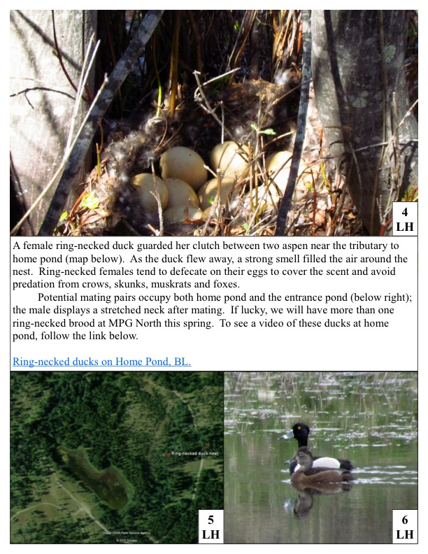 A female ring-necked duck guarded her clutch between two aspen near the tributary to home pond (map below). As the duck flew away, a strong smell filled the air around the nest. Ring-necked females tend to defecate on their eggs to cover the scent and avoid predation from crows, skunks, muskrats and foxes.