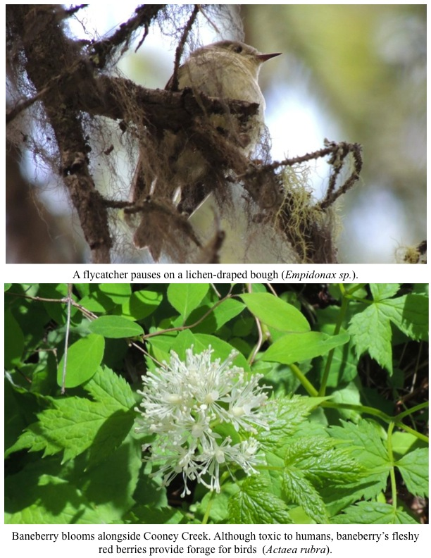 A flycatcher pauses on a lichen-draped bough (Empidonax sp.). A flycatcher pauses on a lichen-draped bough (Empidonax sp.). Baneberry blooms alongside Cooney Creek. Although toxic to humans, baneberry's fleshy red berries provide forage for birds (Actaea rubra).