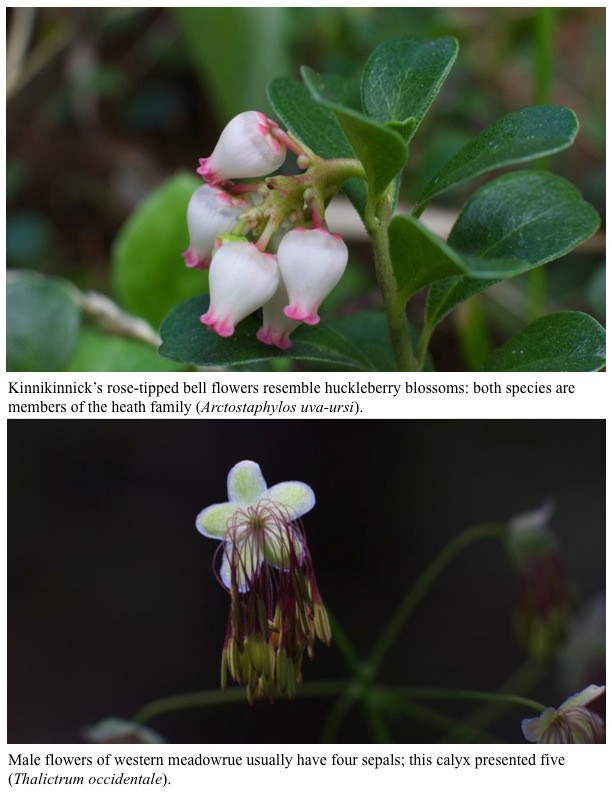 Kinnikinnick's rose-tipped bell flowers resemble huckleberry blossoms: both species are members of the heath family (Arctostaphylos uva-ursi). Male flowers of western meadowrue usually have four sepals; this calyx presented five (Thalictrum occidentale).
