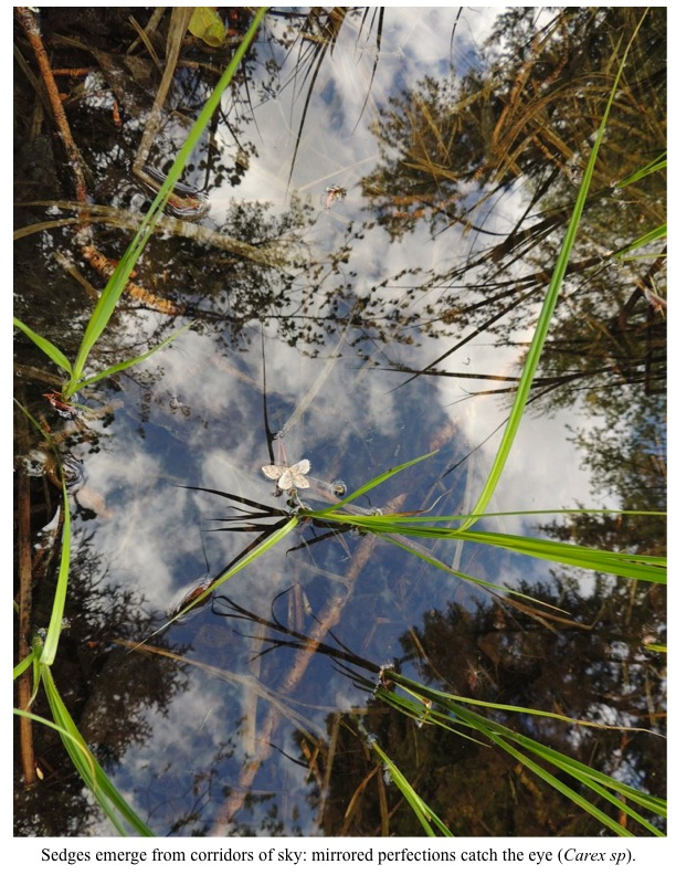 Sedges emerge from corridors of sky: mirrored perfections catch the eye (Carex sp).