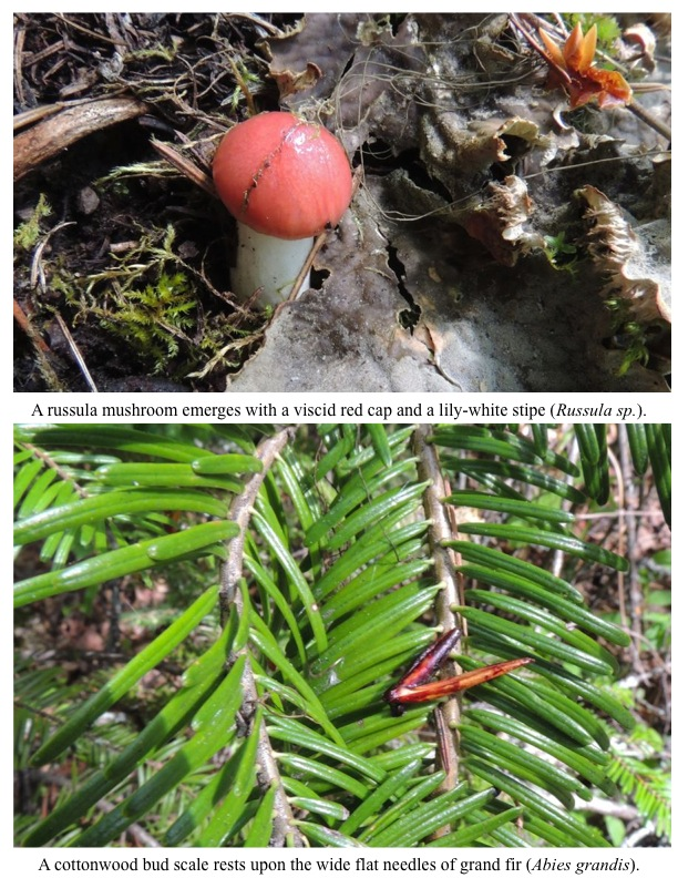 A russula mushroom emerges with a viscid red cap and a lily-white stipe (Russula sp.). A cottonwood bud scale rests upon the wide flat needles of grand fir (Abies grandis).