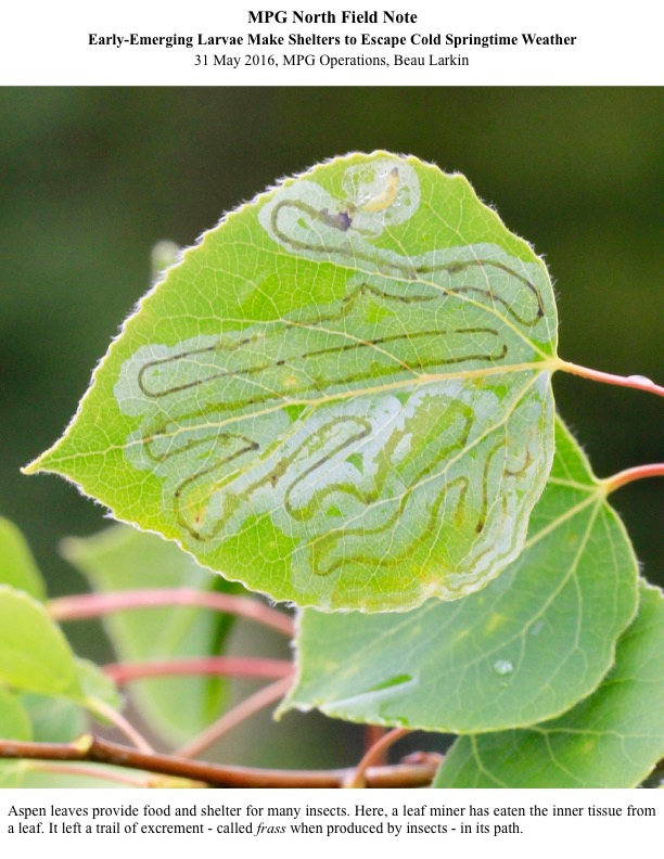 Aspen leaves provide food and shelter for many insects. Here, a leaf miner has eaten the inner tissue from a leaf. It left a trail of excrement - called frass when produced by insects - in its path.
